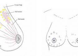 meme anatomisi, meme estetiği, meme yapısı nasıldır